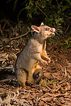 Common Brushtail Possum with joey(Trichosurus vulpecula)