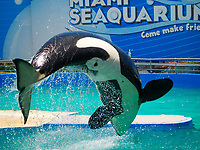 Amazing jump during a show by Lolita, the female killer whale orca, living for decades in the Miami Seaquarium, Florida USA