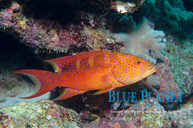 Yellow-edged lyretail or moon grouper, Variola louti, Hurghada, Egypt, Red Sea , Northern Africa