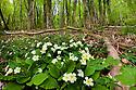 Primroses {Primula vulgaris} in flower on deciduous forest floor, Peak District National Park, Derbyshire, UK. May.