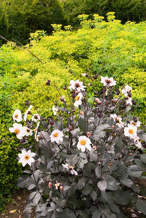 Dahlias Happy Kiss Single series with white flowers and dark purple foliage, against yellow Euphorbia