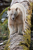 Spirit Bear 'Ringer' scouting