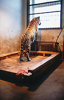 China. Province of Heilongjiang. Harbin. Siberia Tiger Park. A tiger in its cell cage looks out of the window. A piece of raw beef's meat from the food distribtion lies on the wood ground.© 2004 Didier Ruef