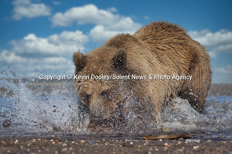Pictured: The bear pounces on the fish close to the shore edge.  Sequence 5 of 10.<br /> <br /> A brown bear struggles to catch a thrashing salmon as the fish tries to escape its deadly paws.  The fish are a vital part of this young male's diet, providing up to nine pounds of fat each day which is necessary to survive the harsh Alaskan winter.<br /> <br /> Though the fish often slip away, this one was caught by the bear on his second attempt.  The photographs were taken by professional wildlife photographer Kevin Dooley in Southwest Alaska, in the United States.  SEE OUR COPY FOR DETAILS.<br /> <br /> Please byline: Kevin Dooley/Solent News<br /> <br /> © Kevin Dooley/Solent News & Photo Agency<br /> UK +44 (0) 2380 458800