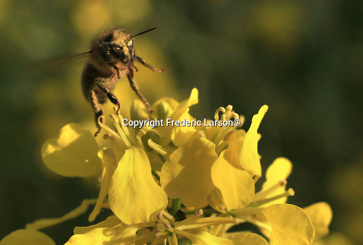 A bumble bee takes pollen from a mustard plant from a vineyard of Napa Valley, California.