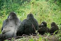 Silverback - Munyinya and female with youngsters, Volcanoes National Park, Rwanda