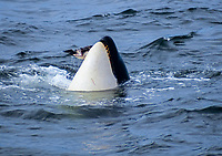 orca or killer whale, Orcinus orca, feeding on common murre, Uria aalge, Monterey Bay, California, USA, Pacific Ocean