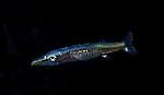 Barracuda larva, Sphyraena, Plankton; marine behavior; Black Water diving; West Palm Beach, Florida, Atlantic Ocean, Gulf Stream Current