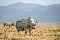 white rhinoceros, or square-lipped rhinoceros, Ceratotherium simum, Lake Nakuru National Park, Kenya, Africa