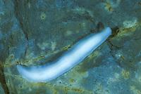 Höhlenplanarie, Höhlen-Planarie, Höhlenstrudelwurm, Höhlen-Strudelwurm, Dendrocoelum cavaticum