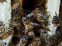 On a comb under construction, the bees build round cells with the wax that they secrete. The wax of the cera alba bee is made from the white and transparent scales that appear at the opening of the four small pockets situated on each side of its abdomen.<br /> Sur un rayon en construction, les abeilles construisent des cellules rondes avec la cire qu'elles secrètent. La cire d'abeille cera alba est réalisée à partir des écailles blanches et transparentes qui apparaissent à l'ouverture des quatre petites poches situées de chaque côté de l'abdomen de l'abeille.
