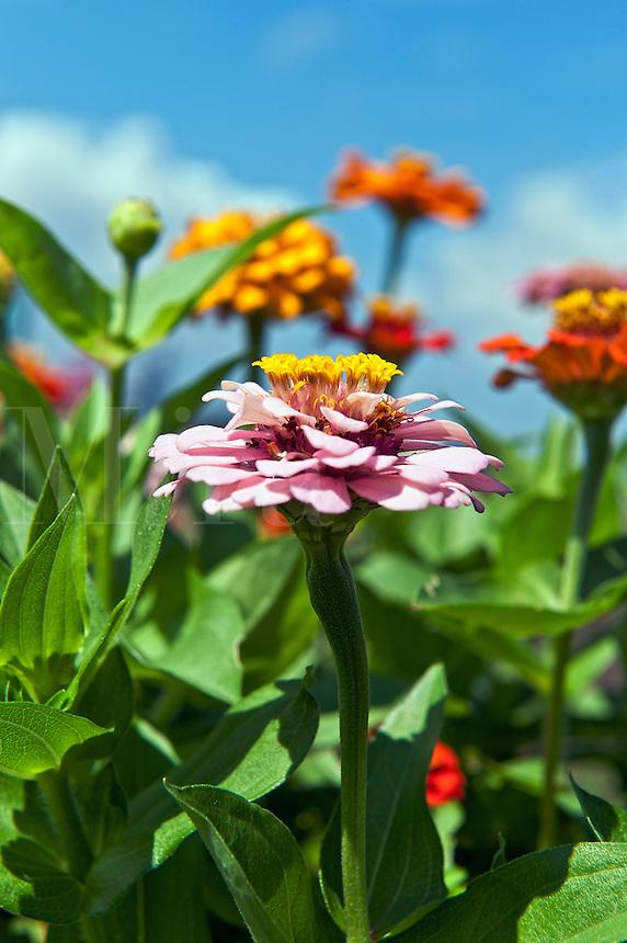 Zinnia flower in bloom, Asteraceae