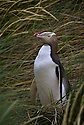 Yellow-eyed Penguin (Megadyptes antipodes)(endangered)