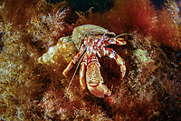 hermit crab, Paguridae, Little Strýtan dive site. Eyjafjörður nearby to Akureyri, northern Iceland, North Atlantic Ocean