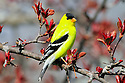 00445-029.08 American Goldfinch male is perched in red splendor crab apple tree.  Landscape, shelter, food, habitat, backyard.