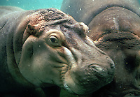 Two Hippopotomi nuzzling underwater.