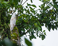 Great Potoo, Nyctibius grandis, near La Fortuna, Costa Rica