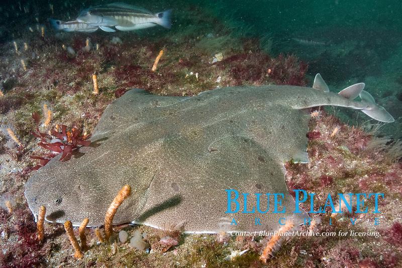 angular angelshark, Squatina guggenheim, aka hidden angelshark and spiny angel shark. Mar Del Plata, Argentina, Atlantic Ocean