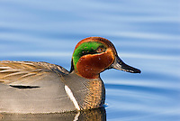 Green-winged Teal (Anas crecca) drake.  Pacific Northwest. Winter. The green-winged teal is one of North America's smallest ducks, weighing around 12 ounces.  It has a wingspan of 23 inches and an overall length of 14 inches.