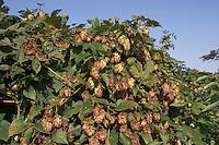Gewöhnlicher Hopfen, Weibliche Fruchtstände, Fruchtzapfen, Humulus lupulus, Common Hop, Houblon
