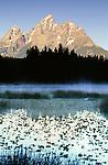 Trumpeter swan, Grand Tetons, Grand Teton National Park, Wyoming