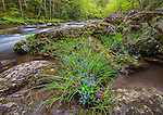 Great Smoky Mountains National Park, Tennessee: Blue Violet (Viola papilionacea) blooming with sedges along the Middle Prong of Little River in spring