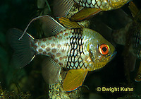 TP16-501z  Pajama Cardinal Fish - Polka Dot Cardinal Fish - Sphaeramia nematoptera