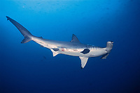 scalloped hammerhead sharks, Sphyrna lewini, adult female with mating scars, Galapagos Islands, Ecuador, East Pacific Ocean