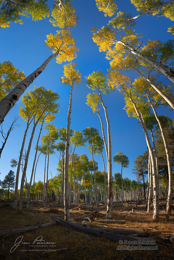 Aspen Titans near Hart Prairie.  The lower reaches of the San Francisco Peaks, north of Flagstaff, Arizona, have patches of aspens that are as tall and dense as any I've seen anywhere.  This image captures one such grove in a vertical, wide angle panorama.  It mimics the look a fisheye lens would give and thereby conveys the scale and majesty of these towering, lanky hardwoods, which in early October were luxuriating in their fall plumage.<br /> <br /> Image ©2020 James D. Peterson