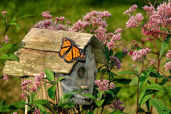 Monarch Butterfly (Danaus plexippus) rests on birdhouse surrounded by Joe Pye Weed (Eupatorium maculatum). Late Summer. Nova Scotia, Canada.