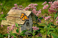 Monarch Butterfly (Danaus plexippus) rests on birdhouse surrounded by Joe Pye Weed (Eupatorium maculatum). Late Summer. Nova Scotia, Canada.