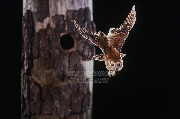 Eastern Screech-Owl (Megascops asio) (Otus asio)adult in flight leaving cavity, Raleigh, Wake County, North Carolina, USA