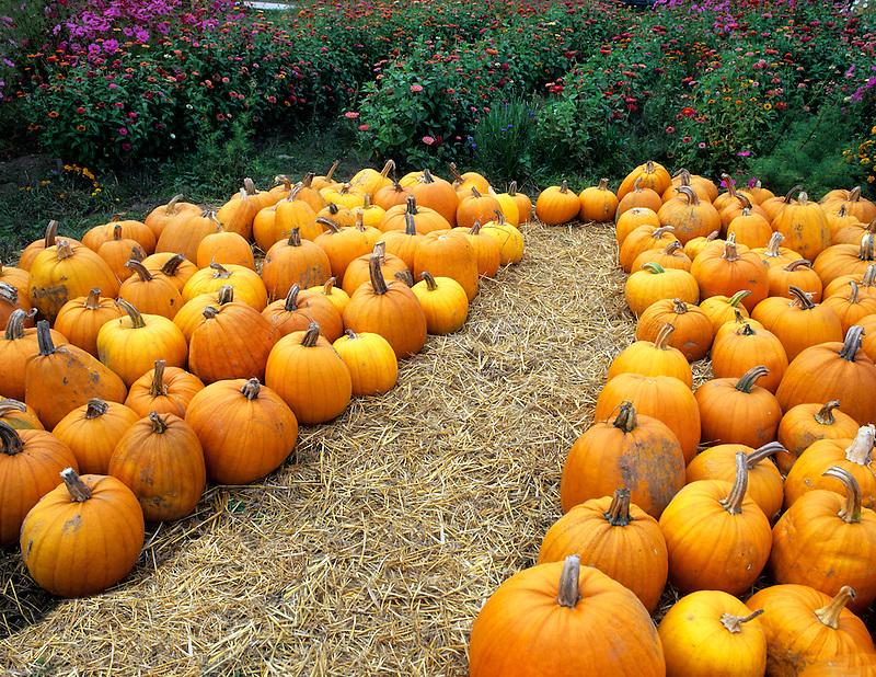 Pumpkins on display at Herricks Garden. Near Springfield, Oregon