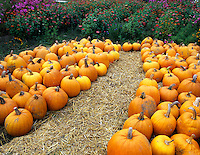 Pumpkins on display at Herricks Garden. Near Springfield, Oregon