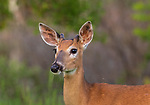 Close up of a young buck in northern Wisconsin.