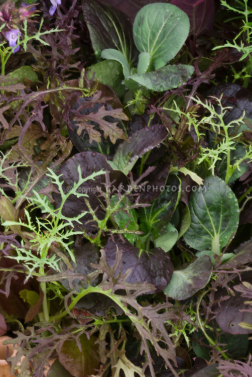 Closeup of leaves & foliage of Jekka's Red Salad Mix greens including green and purple varieties of Red Frills Mustard Brassica juncea var. crispifolia 'Rubra, Red Pak Choi, mesclun mixture