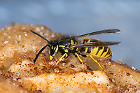 Wespe, Wespen auf Kuchen, Kuchenstück, Apfelkuchen, wasp, yellowjacket, wasps, yellowjackets, Gemeine Wespe, Gewöhnliche Wespe, Vespula vulgaris, Paravespula vulgaris, common wasp, common yellow-jacket, La guêpe commune