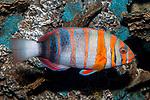 Harlequin tuskfish swimming right