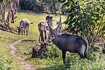 Waterbuck At Lake Bunyonyi Eco Resort