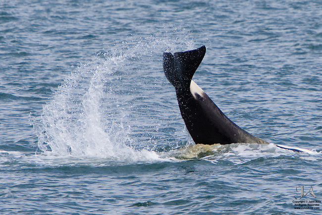 Orca (Killer Whale) slapping tail on water in Prince William Sound, Alaska