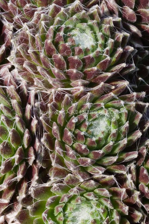 """Cobwebs"" on cobleek - Sempervivum 'Icicle' closeup"