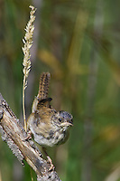 Marsh Wren perched on a branch