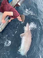 BNPS.co.uk (01202 558833)<br /> Pic: Kevin McKie/BNPS<br /> <br /> A British fishing party has caught a record number of a rarely seen species of shark that pre-date dinosaurs.<br /> <br /> The group reeled in 14 monster sixgill sharks in one day in a secret area of the north Atlantic dubbed Jurassic Park because it is inhabited by the pre-historic fish.<br /> <br /> The sharks weighed up to 450lbs (32st) each and it took an average of 40 minutes to reel in each one.<br /> <br /> The sixgill shark - Hexanchus griseus in Latin - spends much of its time in deep water and as a result has little interaction with humans, with only one reported attack in 500 years.