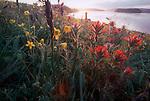 San Juan Islands, Nature Conservancy Preserve, Yellow Island, wildflowers, Washington State, Pacific Northwest, USA,