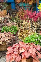 Heucheras variety mix in bloom in basket pot container garden