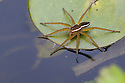 Fen Raft Spider / Great Raft Spider {Dolomedes plantarius} subadult. Norfolk Broads, UK. September. IUCN Red List 'Vulnerable' species and endangered in the UK where it is fully protected by law under Schedule 5 of the Wildlife and Countryside Act 1981. This photograph was taken under licence.