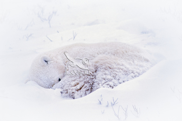 Polar bear (Ursus maritimus) curled up in snow storm sleeping/resting..