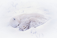 Polar bear (Ursus maritimus) curled up in snow storm sleeping/resting..
