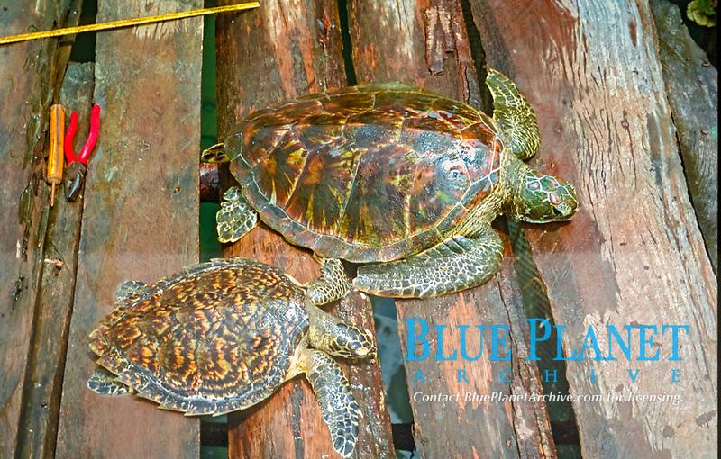 green sea turtle, Chelonia mydas and hawksbill sea turtle, Eretmochelys imbricata, Dominica, Caribbean, Atlantic