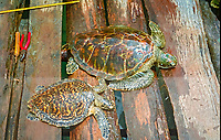 green sea turtle, Chelonia mydas and hawksbill sea turtle, Eretmochelys imbricata, Dominica, Caribbean, Atlantic
